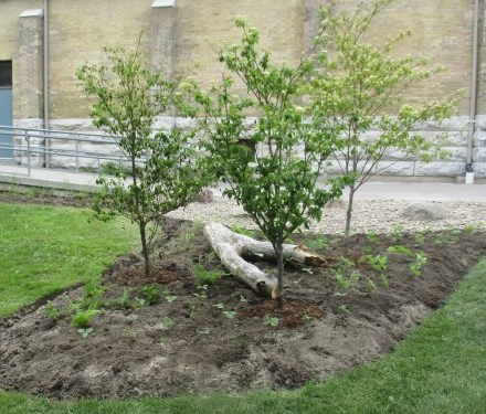Four trees planted in a garden